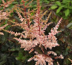Astilbe chinensis 'Spotlight' closeup vnnn
