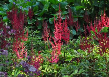 Astilbe 'Rotlicht' habitus in border vn
