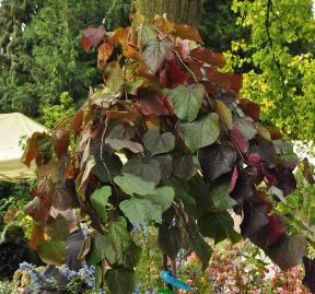 Cercis canadensis 'Ruby Falls' op stam