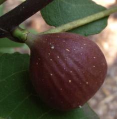 FicuscaricaChicago