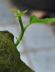 Ficuscaricaslapendeogenontwakennavorstschade24Juni20122