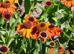 Helenium 'Crimson Beauty'