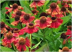 Helenium 'Red Jewel' vn