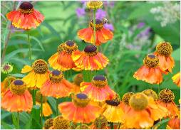 Helenium 'Sahins Early flowerer ' closeup2
