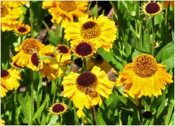 Helenium 'Windley' zonnekruid hybride