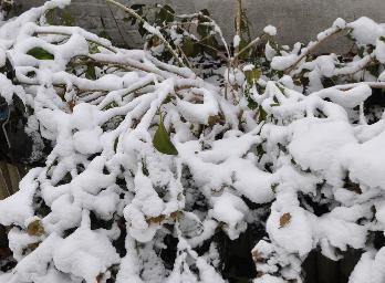 HydrangeamacrophyllaAnnekeSterkenbedolvenondersneeuw