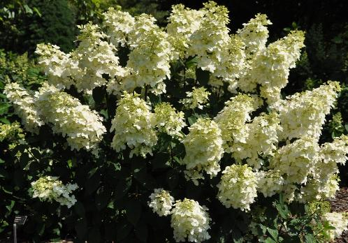 hydrangea paniculata 39 pink lady 39. Black Bedroom Furniture Sets. Home Design Ideas