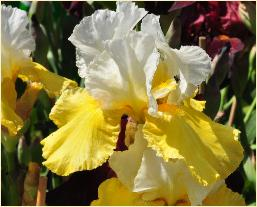 Iris gemanica 'Echo de France' vn