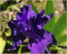 Iris germanica 'Mauri Magic' closeupdonkerpaars50cmvn