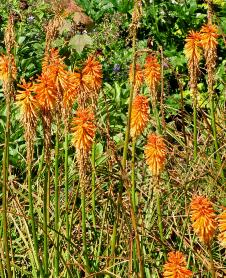 Kniphofia 'Fiery Fred' habitus in border