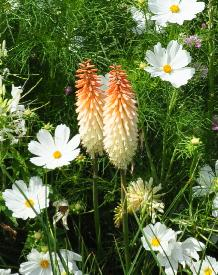 Kniphofia 'Toffee Nosed' in combination with Cosmos  and Cleome