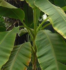 musakopie