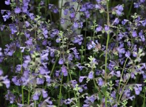 Nepeta faassenii 'Walkers Low' vn
