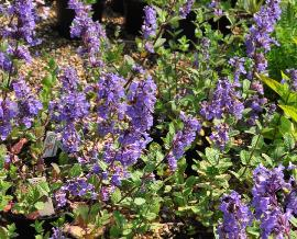Nepeta 'Joanna Reed' global habitus