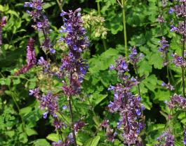 Nepeta 'Shocking Blue' kwekerijIngoedeaarde2013vn