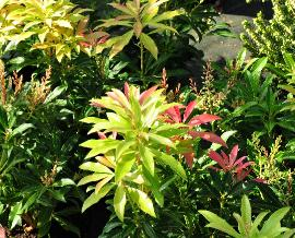 Pieris japonica 'Forest FLame' vn