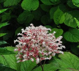 Rodgersia 'Chocolate Wings'